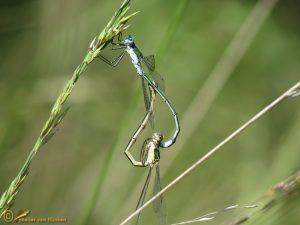 Gewone Pantserjuffer – Lestes sponsa ♀️