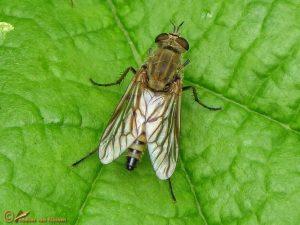 Gewone Viltvlieg – Thereva nobilitata