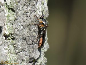 Gewone bladjager - Dioctria hyalipennis