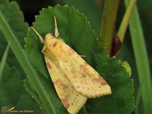 Gewone gouduil - Xanthia icteritia