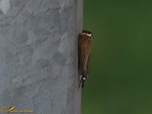 Gewone grasmot - Chrysoteuchia culmella
