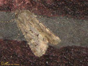 Gewone grasuil - Luperina testacea