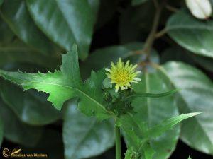 Gewone melkdistel - Sonchus oleraceus