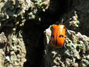 Gewone mierenzakkever - Clytra quadripunctata