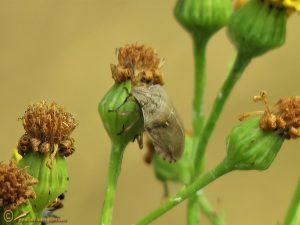 Gewone pantserwants - Eurygaster testudinaria