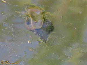 Gewone poelslak - Lymnaea stagnalis