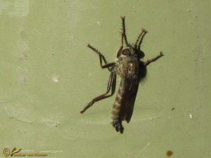 Gewone roofvlieg - Tolmerus atricapillus ♂️