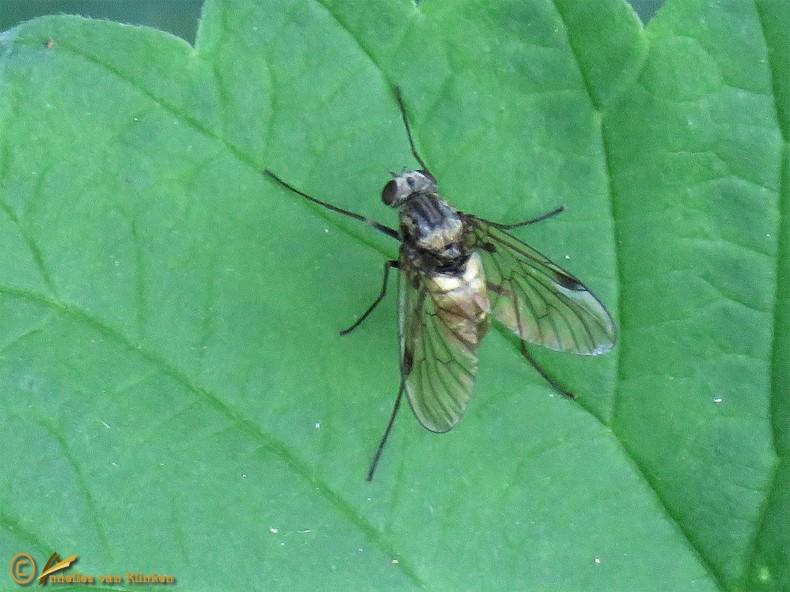 Gewone schubsnipvlieg - Chrysopilus cristatus ♀️
