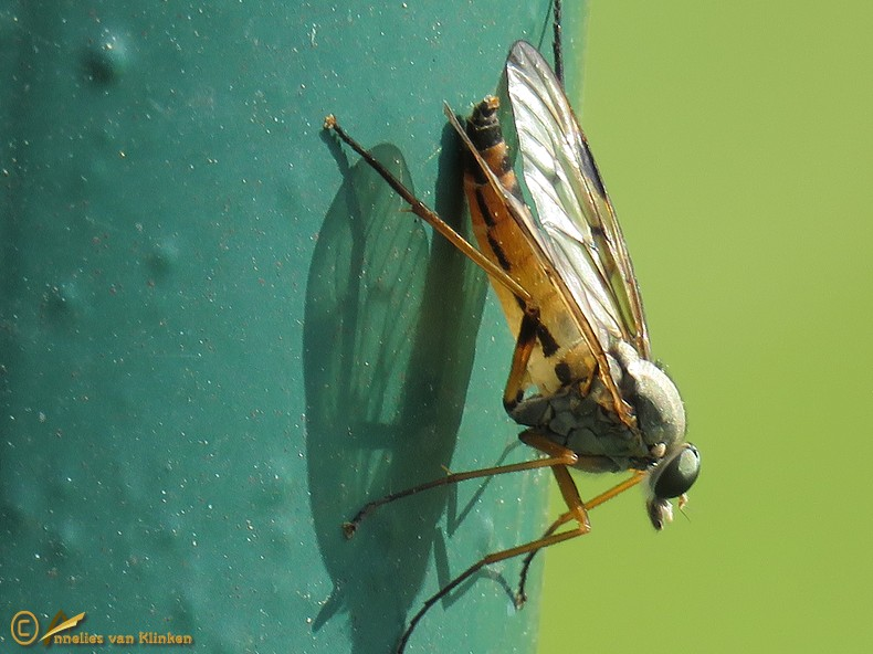 Gewone snipvlieg - Rhagio scolopaceus