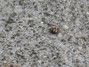 Gewone tapijtkever - Anthrenus verbasci