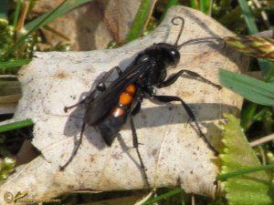 Gewone wegwesp - Anoplius viaticus