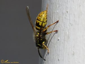 Gewone wesp - Vespula vulgaris