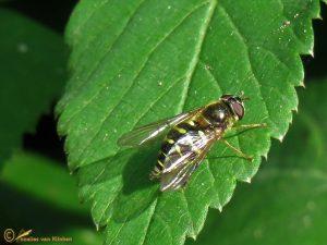 Gewone wimperzweefvlieg - Dasysyrphus venustus ♀️