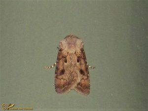 Gewone worteluil - Agrotis exclamationis