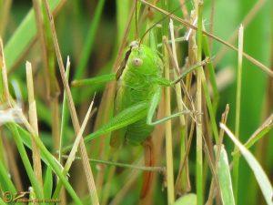 Gewoon Spitskopje - Conocephalus dorsalis