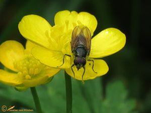 Gewoon weidegitje - Cheilosia albitarsis