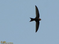 gierzwaluwen-apodidae