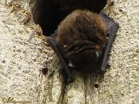 gladneuzen-vespertilionidae-1