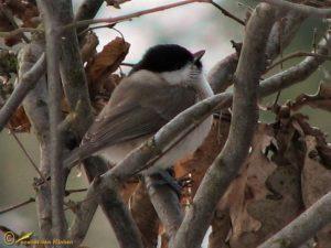 Glanskop – Poecile palustris