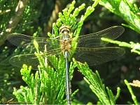 Glanslibellen (Corduliidae)