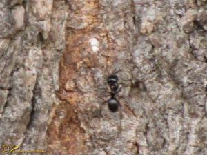 Glanzende houtmier - Lasius fuliginosus