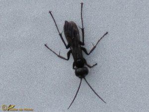 Glasvleugelspinnendoder - Auplopus carbonarius