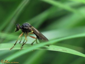 Glimmende bladjager - Dioctria cothurnata ♀️