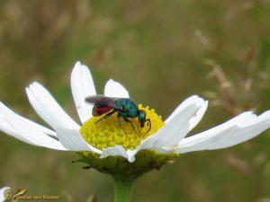 Goudwesp onbekend - Chrysididae indet.