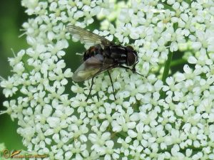Graphomya maculata