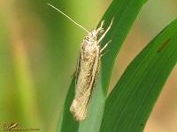 Grasmotten (Crambidae)
