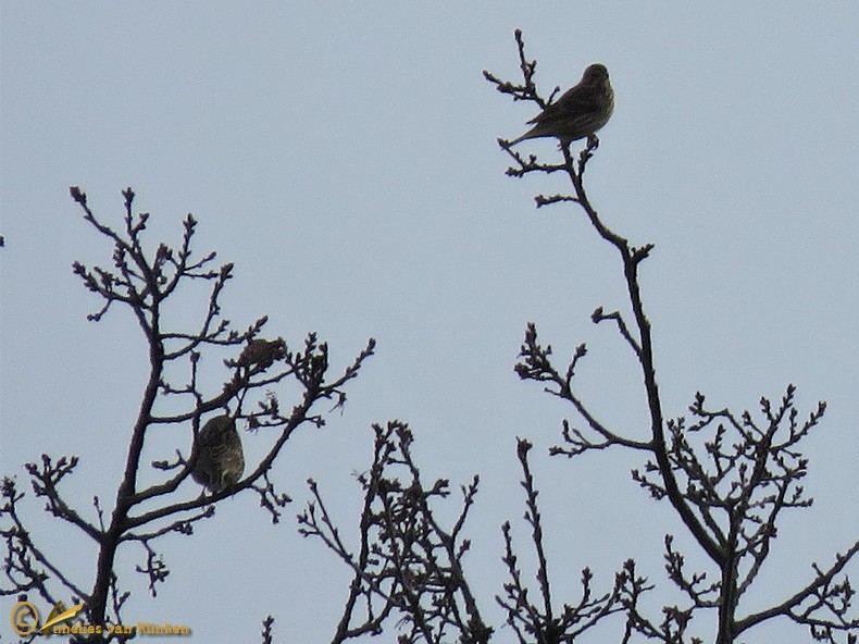 Grauwe Gors - Emberiza calandra