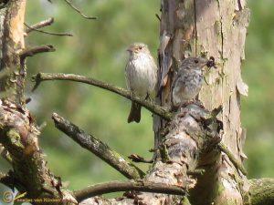Grauwe Vliegenvanger - Muscicapa striata