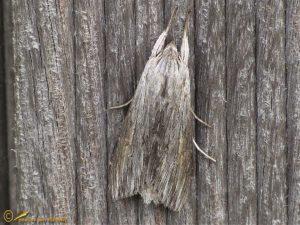 Grauwe monnik - Cucullia umbratica