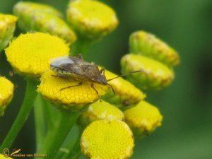 Grijze glasvleugelwants - Stictopleurus punctatonervosus