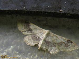 Grijze stipspanner - Idaea aversata