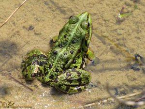 Groene Kikker spec. – Pelophylax spec