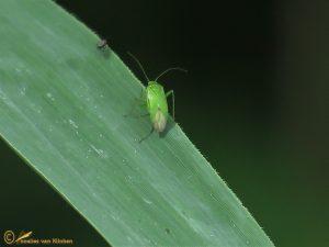 Groene appelschaduwwants - Lygocoris pabulinus