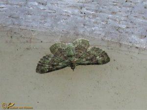 Groene dwergspanner - Pasiphila rectangulata