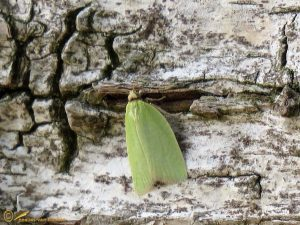 Groene eikenbladroller - Tortrix viridana