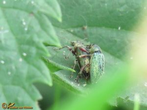 Groene snuittor - Phyllobius maculicornis