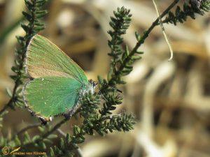 Groentje - Callophrys rubi
