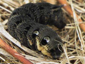 Groot avondrood – Deilephila elpenor