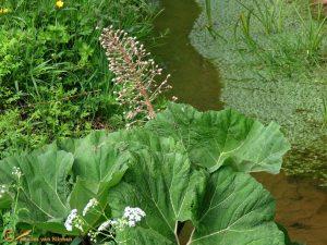 Groot hoefblad – Petasites hybridus