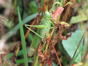 Grote Groene Sabelsprinkhaan - Tettigonia viridissima