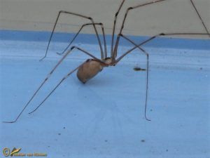 Grote Trilspin - Pholcus phalangioides