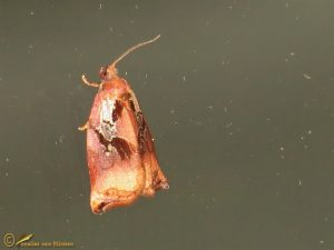 Grote appelbladroller - Archips podana