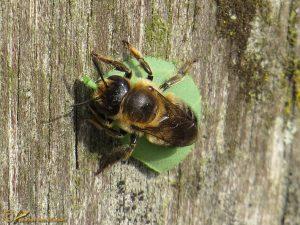 Grote bladsnijder - Megachile willughbiella