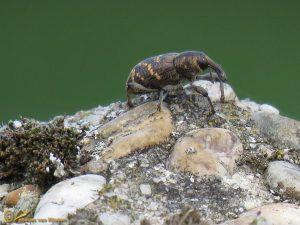 Grote dennensnuitkever - Hylobius abietis