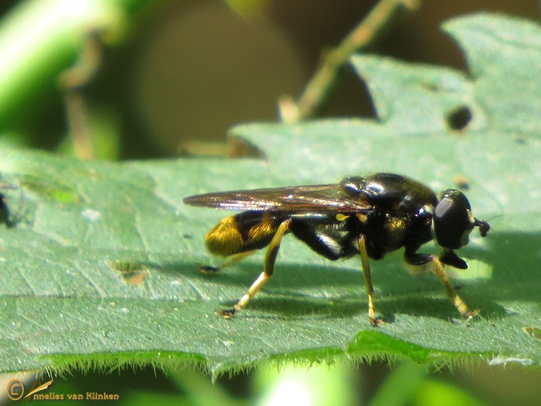 Grote gouden bladloper - Xylota sylvarum
