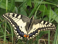 Grote pages (Papilionidae)